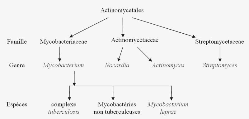 classification des mycobactéries