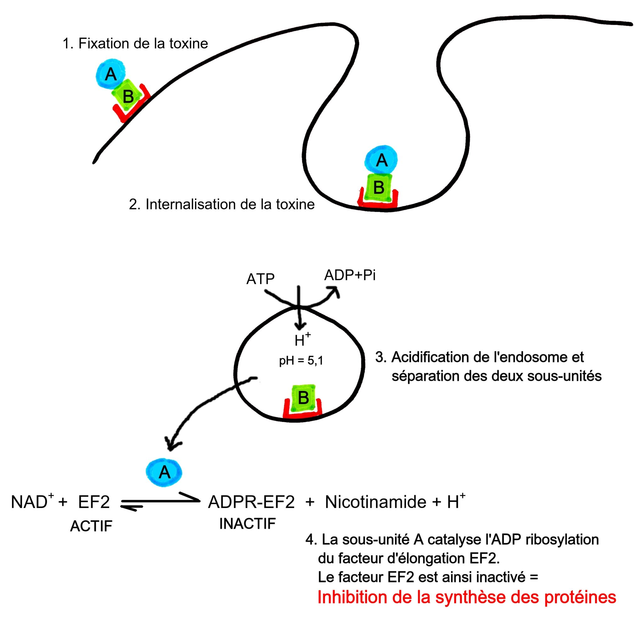 toxine diphtérique