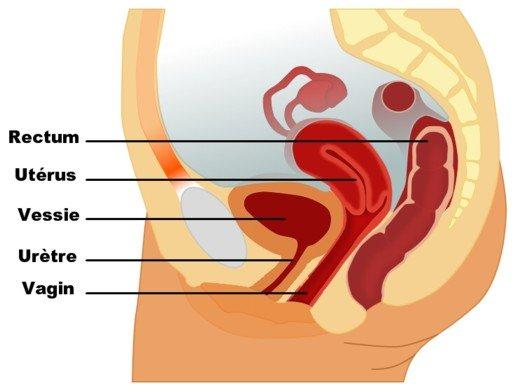 pelvis féminin