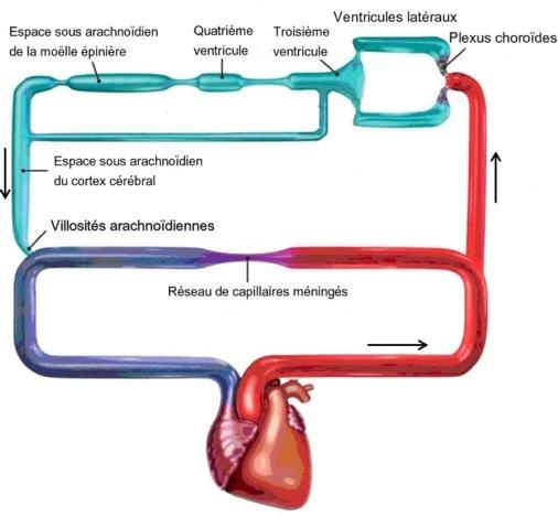 circulation LCR céphalorachidien