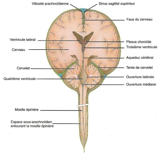 coupe frontale de l'encéphale