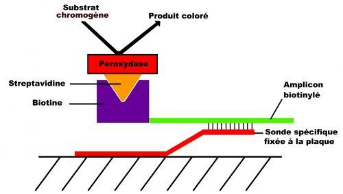 révélation amplicon streptavidine biotine péroxydase