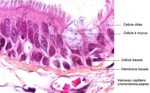 épithelium bronchique