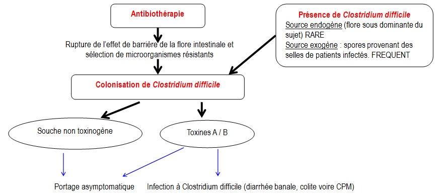 physiopathologie infection clostridium difficile