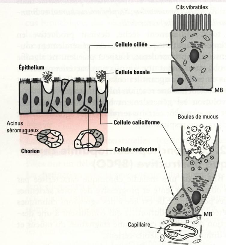 epithelium bronchique