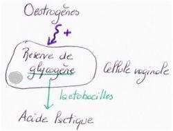 lactobacillus oestrogènes