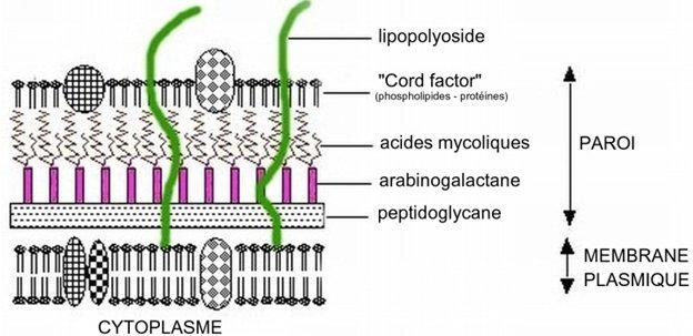 structure de la paroi des mycobactéries