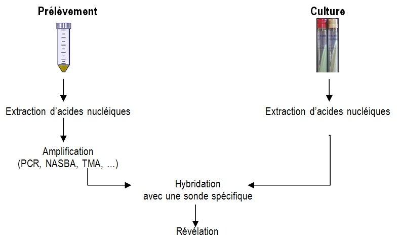 identification biologie moléculaire mycobactéries
