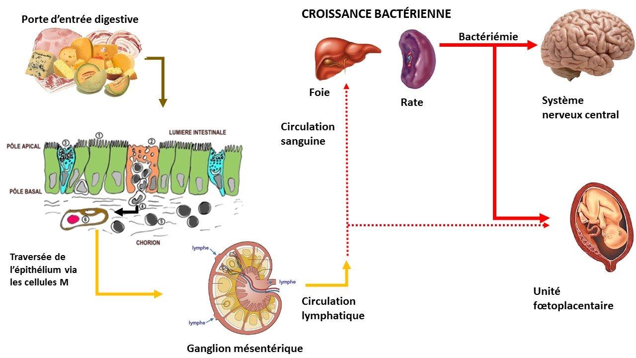 physiopathologie listeria monocytogenes listériose