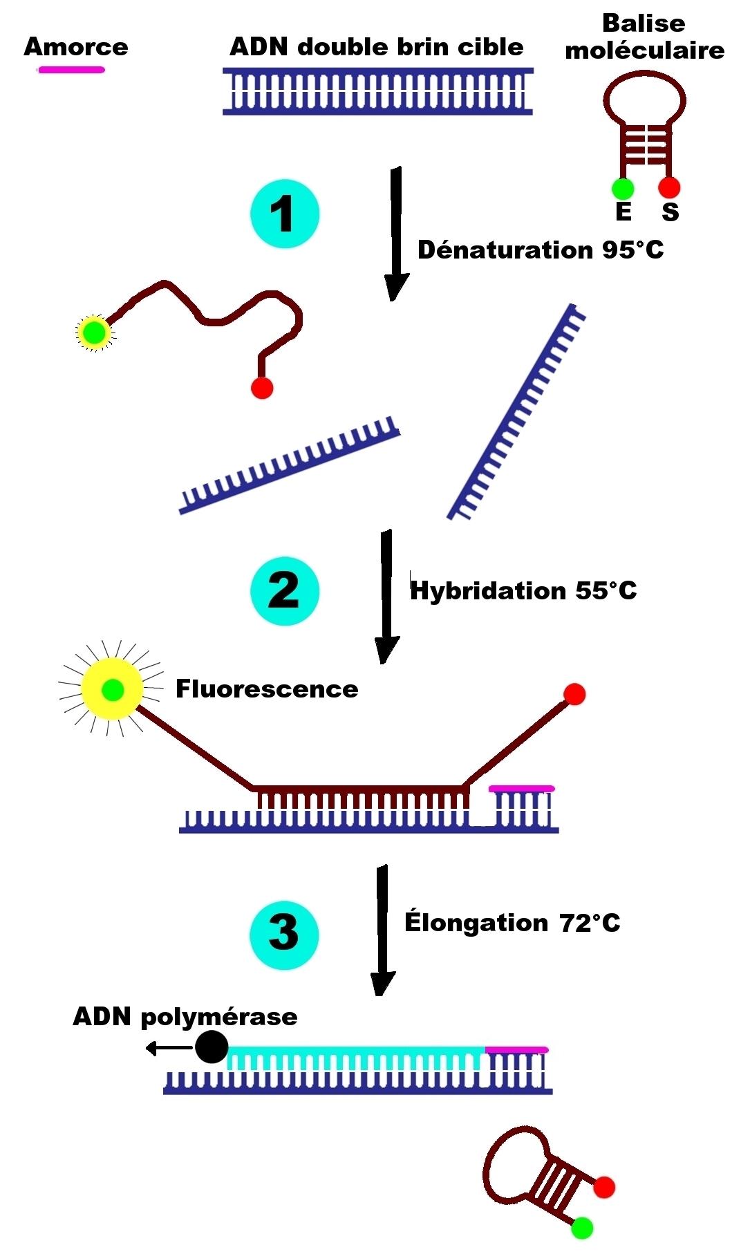 PCR temps réel Molecular beacons