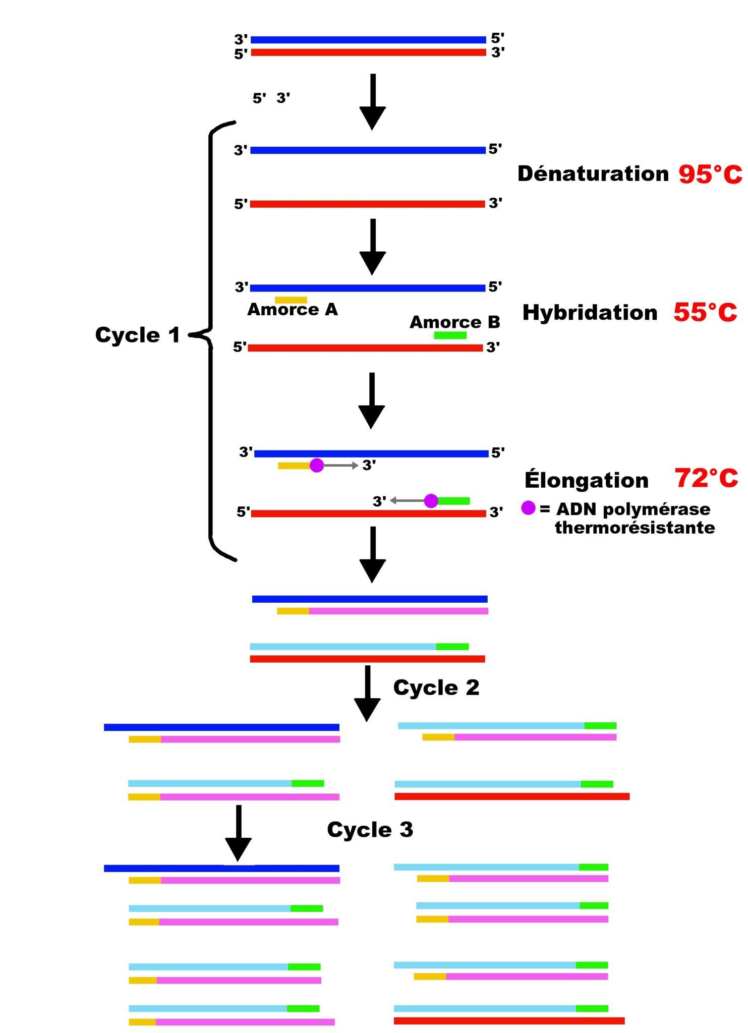 PCR amplification génique