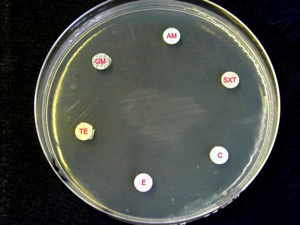 antibiogramme Listeria monocytogenes