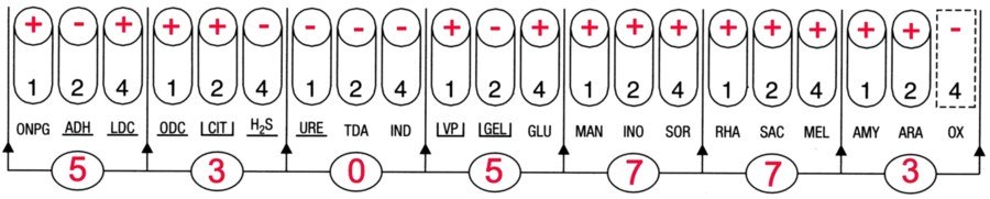 Profil API 20E Enterobacter aerogenes