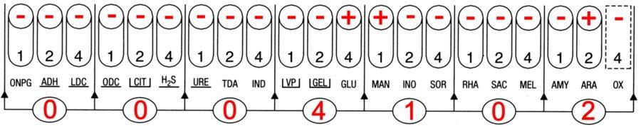 Profil API 20E Shigella flexneri