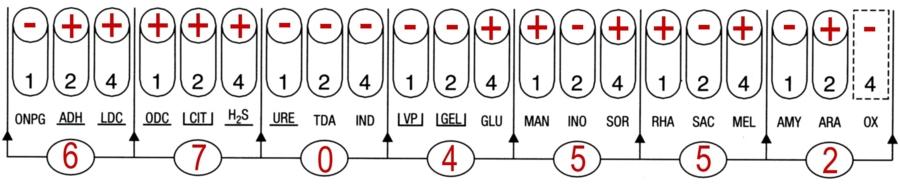 Profil API 20 E Salmonella enteritidis