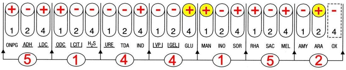profil API 20E comparé Escherichia Shigella
