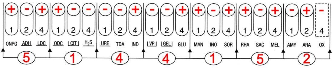 Profil API 20E Escherichia coli