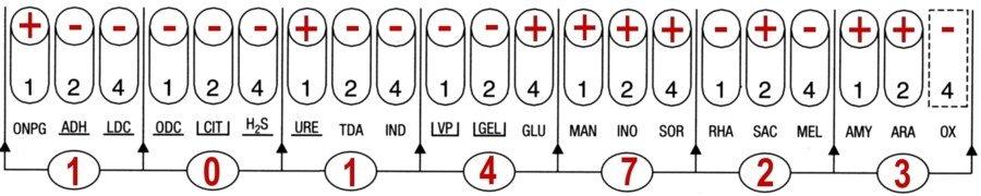 Profil API 20E Yersinia enterocolitica