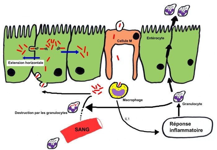physiopathologie shigellose cellule M