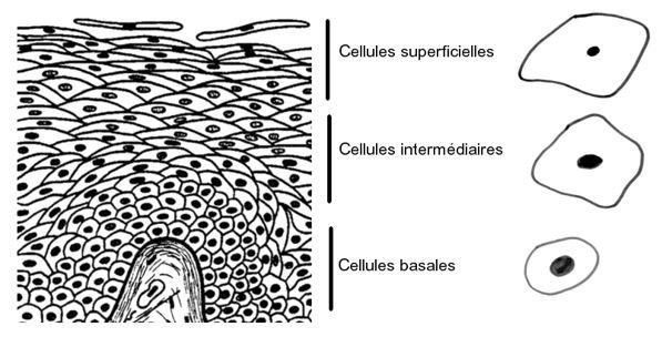 cellules vaginales pavimenteuses intermédiaires basales