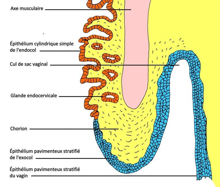 muqueuse col utérus