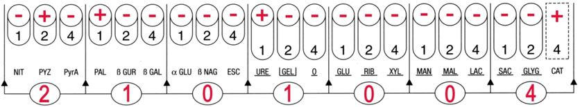 Profil API Coryne Corynbacterium urealyticum