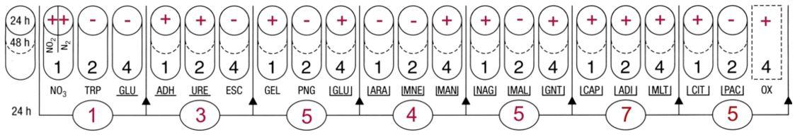 Profil API 20NE Pseudomonas aeruginosa