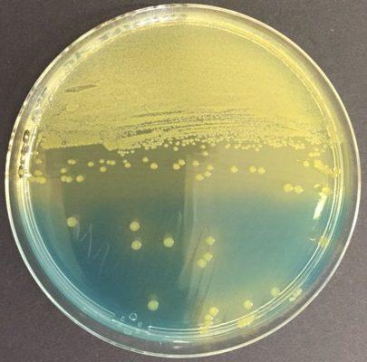 CLED Escherichia coli