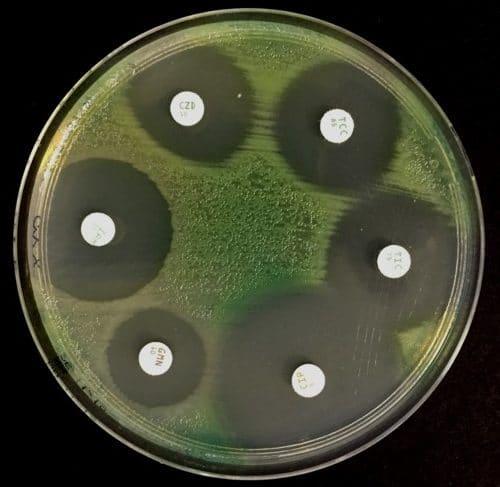 Antibiogramme Gélose Mueller Hinton Pseudomonas aeruginosa