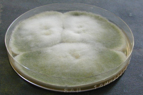 Aspergillus nidulans Sabouraud