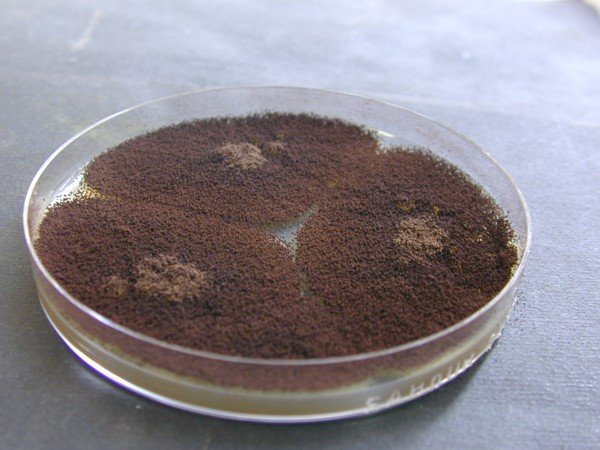 Aspergillus niger Sabouraud